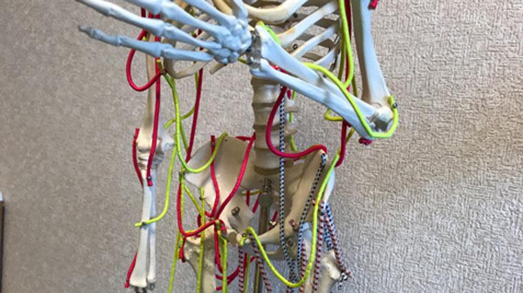 人体模型に筋肉の繊維を張りました