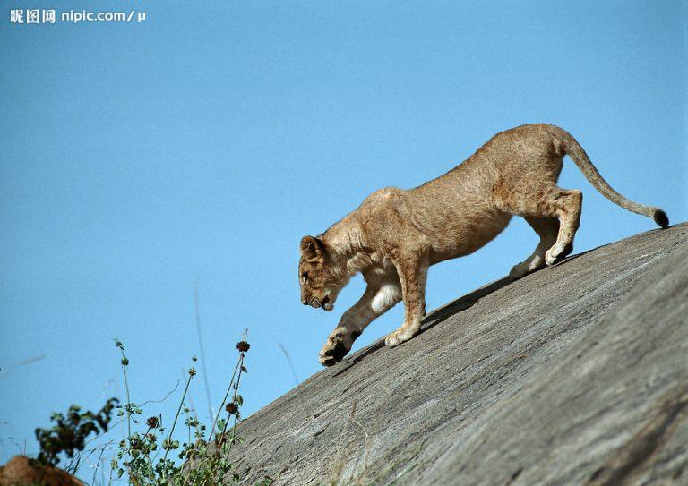 ライオンの動作